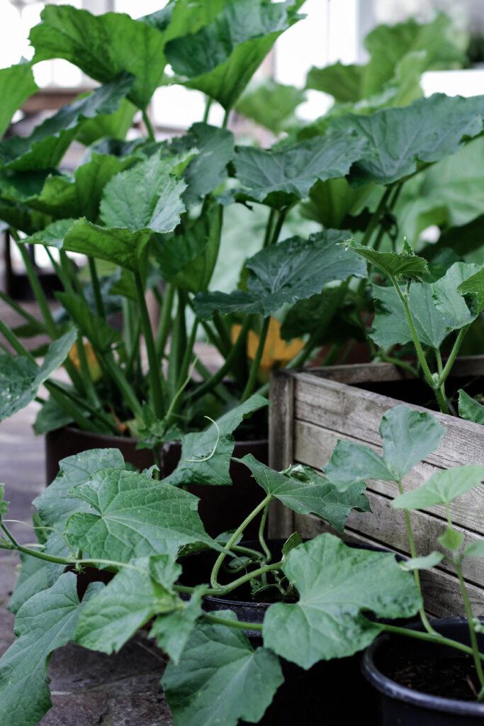 urban gardening, gurken in töpfen, gurken in kübeln, gemüse im topf, gärtnern, gurken