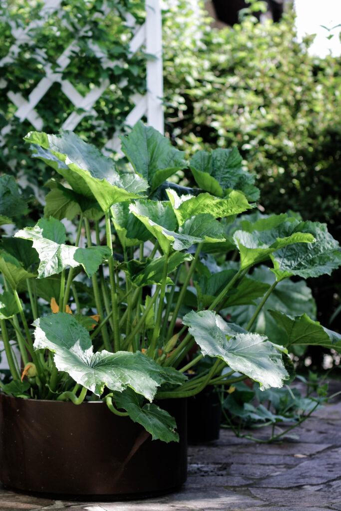 urban gardening, zucchini in töpfen, zucchini, zucchini in kübeln, gemüse im topf, gärtnern